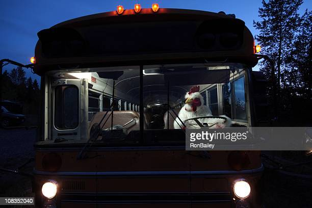 chicken driving a school bus - funny rooster stock photos and pictures