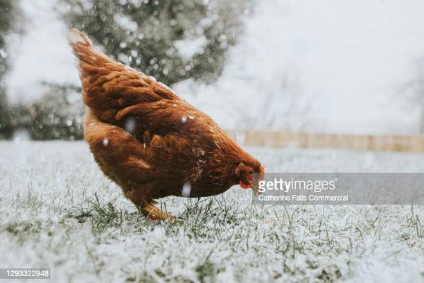chicken eating grass while it snows - animal limb stock pictures, royalty-free photos & images