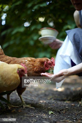 A Chicken Eats Out Of A Human Hand Stock Photo Getty Images