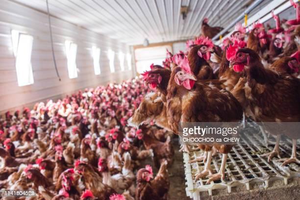 chicken farm - nutztier stock-fotos und bilder