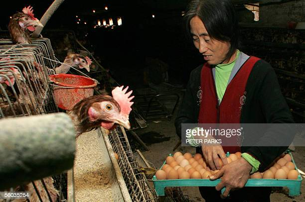 STORY HEALTHFLUCHINASARS Chicken farmer Li Cui'e collects eggs at her farm on the outskirts of Huhhot the capital of China's Inner Mongolia region 26...