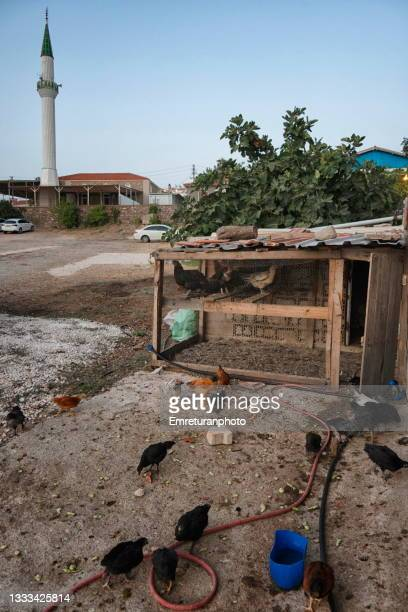 chicken feeding in front of a henhouse with mosque at the background - emreturanphoto stock pictures, royalty-free photos & images