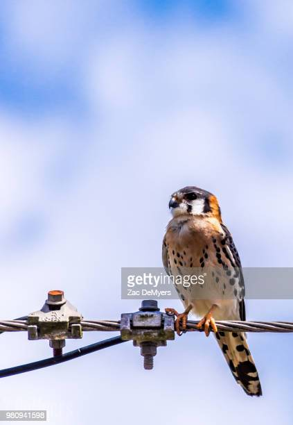 chicken hawk - chicken hawk stock pictures, royalty-free photos & images