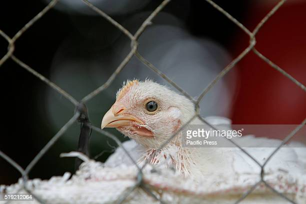 A chicken in a farm Ministry of Public Health instructed government agencies to watch for any signs of bird flu during the winter season and warned...