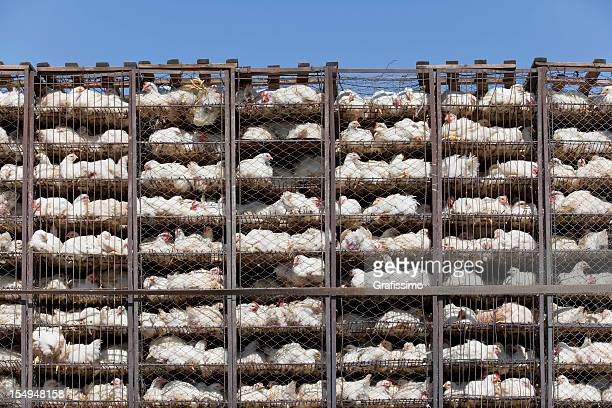 chicken in battery cage under bad condition - dierenwelzijn stockfoto's en -beelden