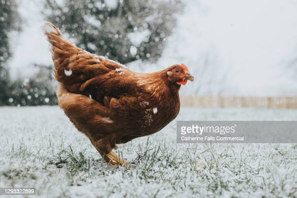 chicken in snow - animal limb stock pictures, royalty-free photos & images