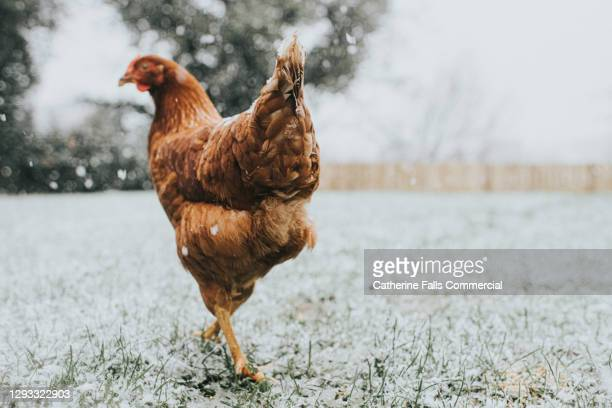 chicken in snow walks away - animal limb stock pictures, royalty-free photos & images
