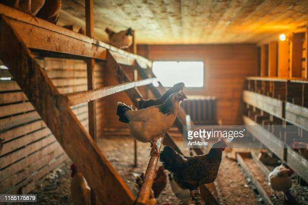 chicken indoors in a farm - chicken coop stock pictures, royalty-free photos & images