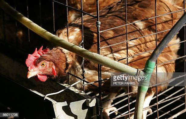 A chicken looks out of its cage at a farm on the outskirts of Huhhot the capital of China's Inner Mongolia region 26 October 2005 The sale of live...