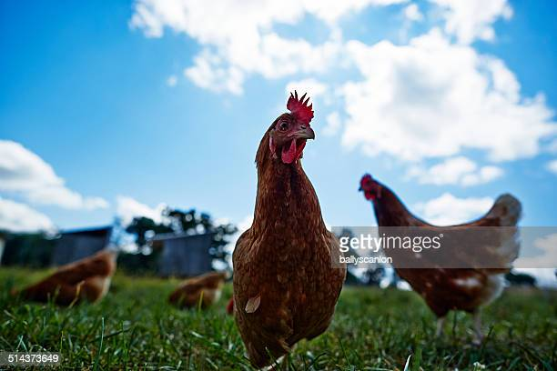 chicken on a farm - funny rooster stock photos and pictures