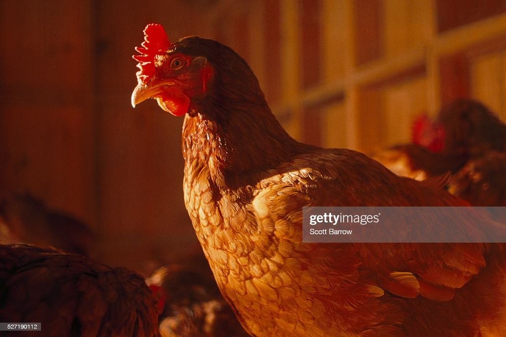 Chicken on a farm : Stockfoto