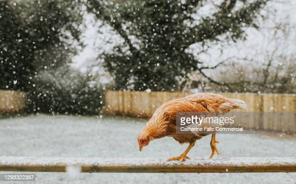 chicken on a fence, exploring snow - animal limb stock pictures, royalty-free photos & images