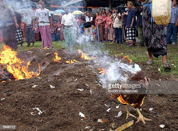 Chicken on fire tries to escape a fire as villagers of Bolangan village burn hundreds of chickens infected by bird flu to cut the spread of bird flu,...