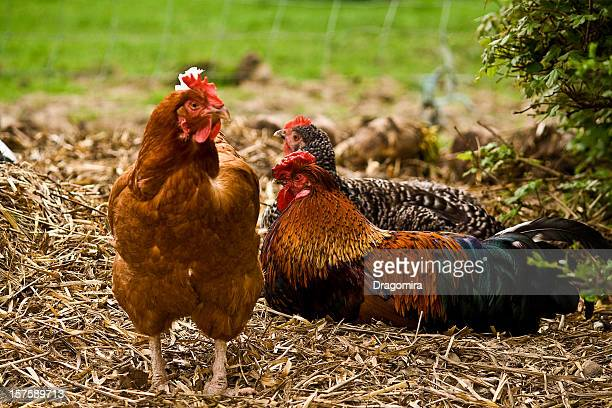 chicken on straw - vorbeigehen stock pictures, royalty-free photos & images