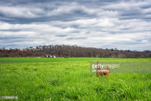 chicken on the farm - chicken meat stock pictures, royalty-free photos & images