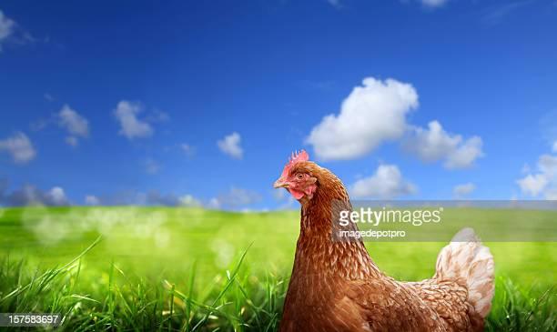 chicken over green landscape