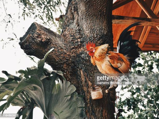 chicken perching on tree trunk - perching stock pictures, royalty-free photos & images