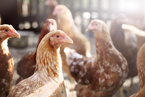 Chicken 1081985492