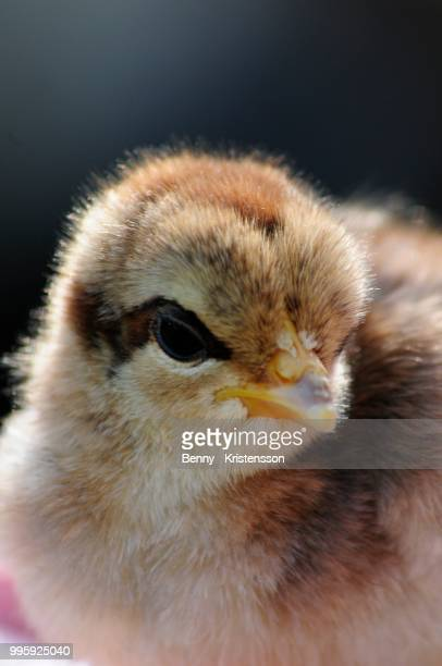 chicken - chicken hawk stock pictures, royalty-free photos & images