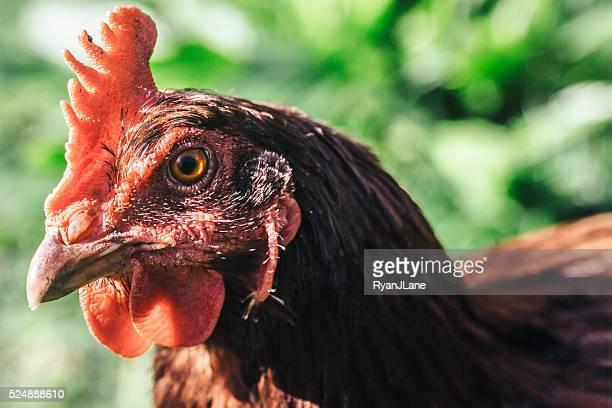 Retrato en primer plano de pollo