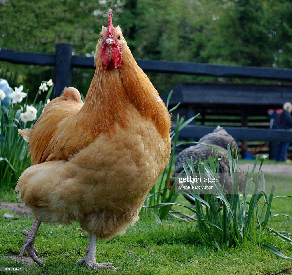 Chicken run : Stock Photo