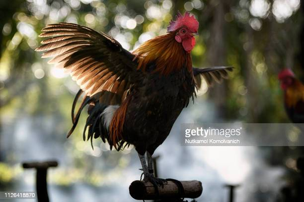 chicken spread its wing in beautiful light - rooster stock pictures, royalty-free photos & images