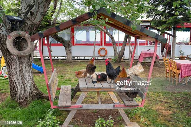 chicken standing on a wooden bench in the garden - emreturanphoto stock pictures, royalty-free photos & images