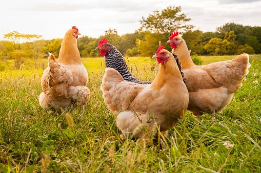 Chicken Sunset 872646276