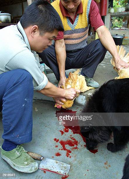 Chicken vendors slay a chicken as a dog sniffs blood 01 February 2004 in Guangzhou southern China While the World Health Organisation warned new...
