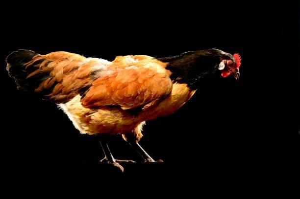 Chicken, Vorwerk, Germany