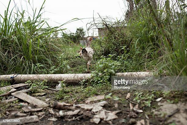 A chicken walks in the Dilma Rousseff favela of Rio de Janeiro Brazil on Monday July 6 2015 As the fastest inflation in more than a decade hits the...