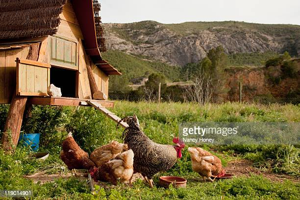 chickens and hen house in farmyard - chicken coop stock pictures, royalty-free photos & images