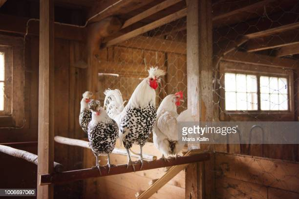chickens and rooster in chicken house - chicken coop stock pictures, royalty-free photos & images