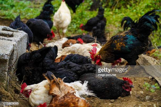 chickens and roosters of all colors in the field - allevamento foto e immagini stock