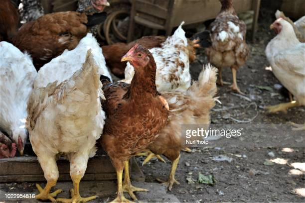 Chickens are pictured at a village on the third day of Eid alAdha in southern Hatay province of Turkey on August 23 2018 Hatay is bordered by Syria...
