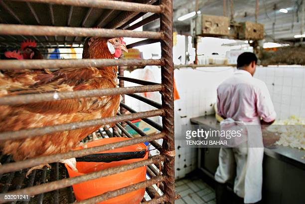 Chickens are placed on a cage before they are slaughtered and sold at a wet market in Kuala Lumpur 06 July 2005 A threeday seminar on avian influenza...