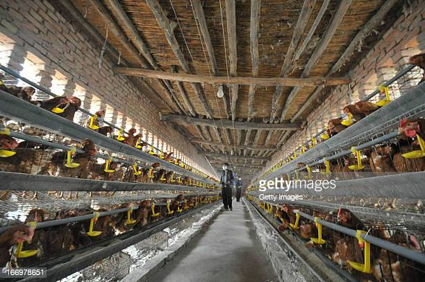 Chickens are seen at a poultry farm on April 18, 2013 in Yuncheng, China. China on Thursday confirmed five new cases of H7N9 avian influenza,...
