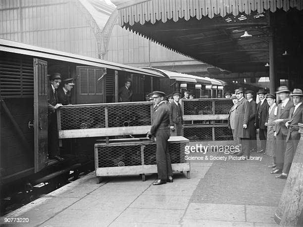 Chickens being unloaded from a train at Paddington station 1923 At this time the railways' transportation of livestock was at its peak and around 20...