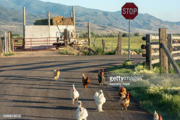 chickens by a stop sign on a rural dirt road. - funny rooster stock photos and pictures