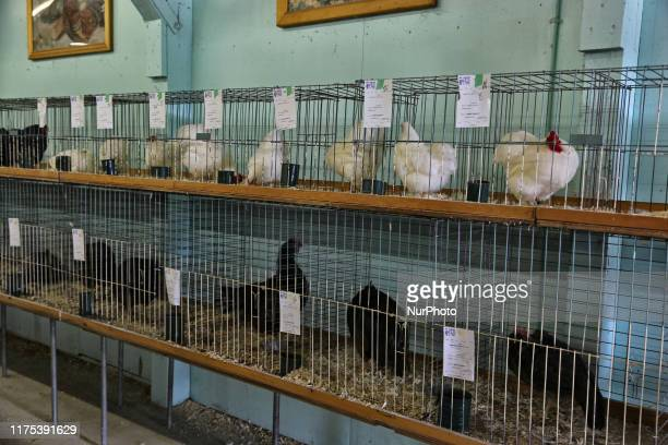 Chickens displayed during the 175th Markham Agricultural Fair in Markham Ontario Canada on October 05 2019