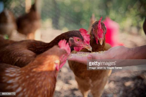 Chickens eating from a hand