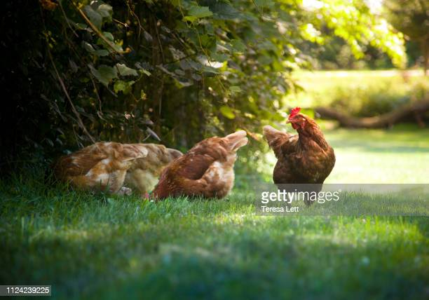 chickens eating grass - hen stock pictures, royalty-free photos & images