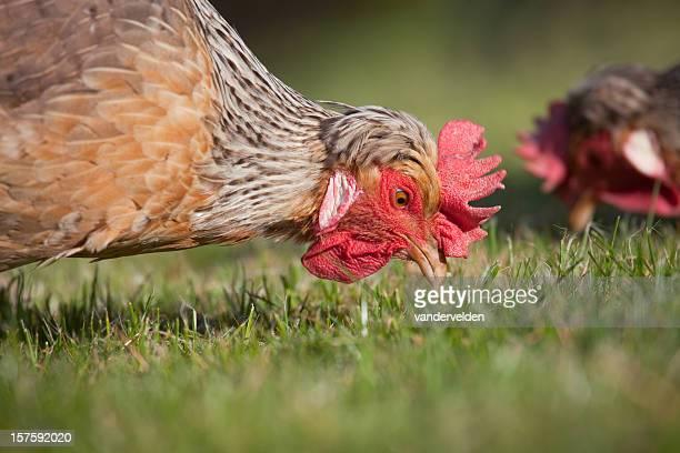Chickens Foraging Free Range