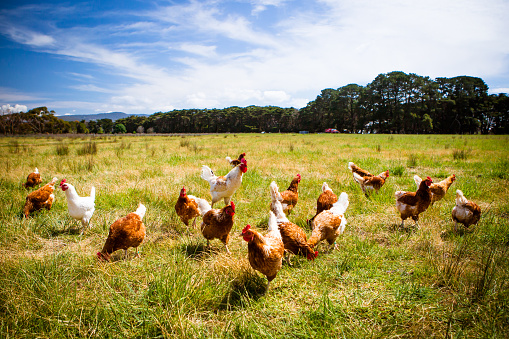 Chickens In A Field 506342740