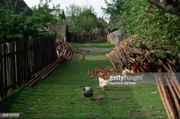 chickens in farmyard - bialowieza forest stock pictures, royalty-free photos & images