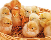 http://www.istockphoto.com/photo/chickens-in-the-basket-gm944779250-258072052