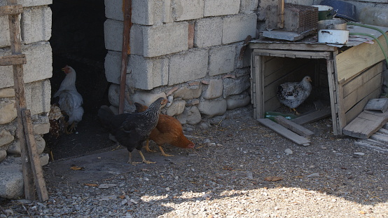 chickens in the countryside . 1176795839