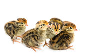 http://www.istockphoto.com/photo/chickens-of-quail-gm868212980-145343733