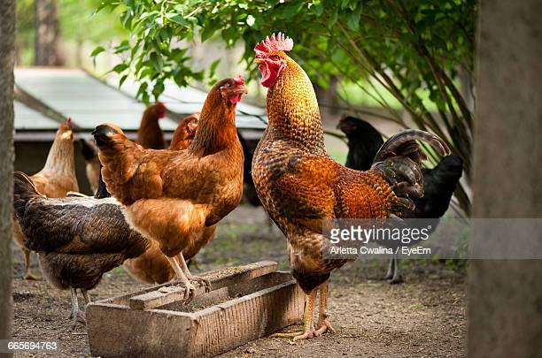 chickens on field - hen stock pictures, royalty-free photos & images