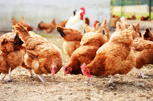 Chickens on traditional free range poultry farm 478287121